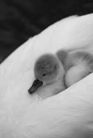 Portrait of young cygnet, Dorset, UK