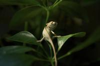 Chameleon (Chamaeleonidae) on leaf, Los Angeles, California, USA