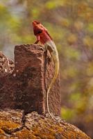 Chameleon on the rock, Maharashtra, India