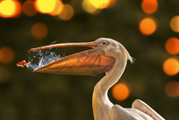 Goldfish (Carassius auratus) escaping from beak of great white pelican (Pelecanus onocrotalus)