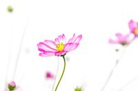 Comos flower, Tokyo, Japan