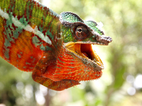 Head of colorful Chameleon
