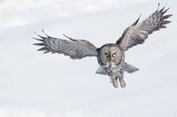 Great Grey Owl flying, Quebec, Canada