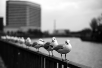 Seagulls standing in line, Osaka, Japan