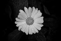 Close-up of single gerbera (Gerbera L.) flower, India