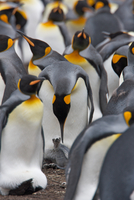 King penguin colony (Aptenodytes patagonicus), Stanley, Falkland Islands, Argentina