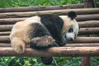 Sleepy Panda, Tibet, China
