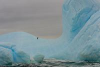 Lonely Adelie penguin (Pygoscelis adeliae) on iceberg, Antarctica