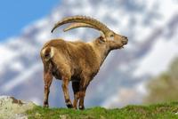 Portrait on Alpine ibex (Capraibex), Gran Paradiso National Park, Italy