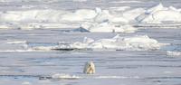 Lone polar bear, Arctic