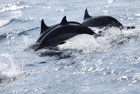Spinner dolphins breaching surface of water, Sri Lanka