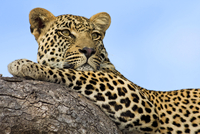 Portrait of Leopard (panthera pardus), Mpumalanga