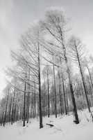 Bare trees covered by snow, Biei, Hokkaido, Japan