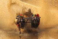 Bulls dragging man through wet mud, Kambala, Karnataka, India