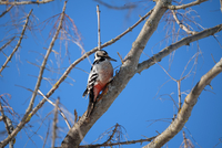 Woodpecker perching on branch