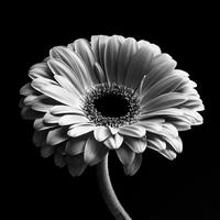 Black and white view of gerbera 11098035166| 写真素材・ストックフォト・画像・イラスト素材|アマナイメージズ