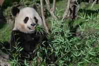 Giant panda (Ailuropoda melanoleuca) eating leaves, China