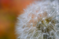 Close-up of dandelion (Taraxacum Officinale), Wellingborough, England, UK
