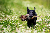 Black Labrador Retriever holding dead pheasant in clover field 11098035679  写真素材・ストックフォト・画像・イラスト素材 アマナイメージズ