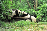 Giant pandas (Ailuropoda melanoleuca) playing in forest, Chengdu, China