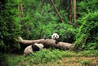 Giant pandas (Ailuropoda melanoleuca) playing on tree trunk, Chengdu, China 11098035914| 写真素材・ストックフォト・画像・イラスト素材|アマナイメージズ