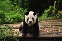 Giant panda (Ailuropoda melanoleuca) eating, Chengdu, China 11098035915| 写真素材・ストックフォト・画像・イラスト素材|アマナイメージズ
