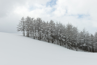 Pine forest on snowy slopes, Pyoungchang, Korea 11098035994| 写真素材・ストックフォト・画像・イラスト素材|アマナイメージズ