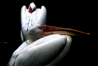 Studio shot of two pelicans on black background