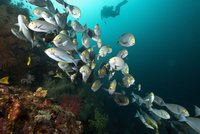 School of grey fish with yellow stripe on eye, Raja Ampat Islands, New Guinea, Indonesia