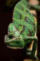 Close up of veiled chameleon (chamaeleo calyptratus)