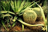 Cactus (Cactaceae)