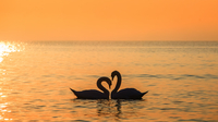 Swan silhouettes forming heart shape on sea at sunset