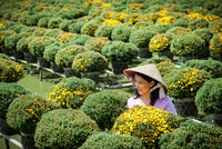 Young woman in conical hat among yellow flowers, Mekong Delta, Vietnam