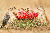 Squirrel and woodpecker looking at each other over cactus, Texas, USA