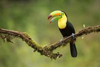 Keel-billed Toucan (Ramphastos sulfuratus) perching on branch, Costa Rica