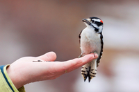 Woodpecker on hand
