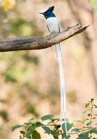 Oriental paradise flycatcher (Terpsiphone affinis)