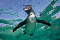 Close-up of Galapagos penguin (Spheniscus mendiculus) swimming underwater, Ecuador