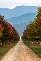 Autumn view of road, trees and mountains, Buckland, Victoria, Australia