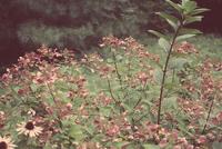 Hortensia (Hydrangea) in bloom, Hasting County, Ontario, Canada 11098041490| 写真素材・ストックフォト・画像・イラスト素材|アマナイメージズ