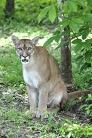 Growling cougar (Puma concolor) looking at camera
