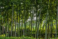 Bamboo grove, Hangzhou, Zhejiang, China