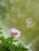 Close-up of Pelargonium odoratissimum flower