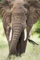 Elephant (Loxodonta africana) walking on grass, Tarangire National Park, Tanzania