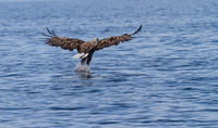 Eagle flying above water, Sotra Island, Hordaland, Norway