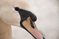 Close-up of white swan (Cygnus), Arley, England, UK