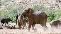 Elephants (Loxodonta africana) running in desert dust in Huab area, Kunene region, Namibia