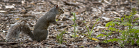 Squirrel (Sciuridae) foraging in forest