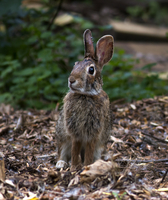Hare (Lepus curpaeums) in forest