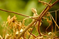 Small chameleon (Chamaeleonidae) on branch, India